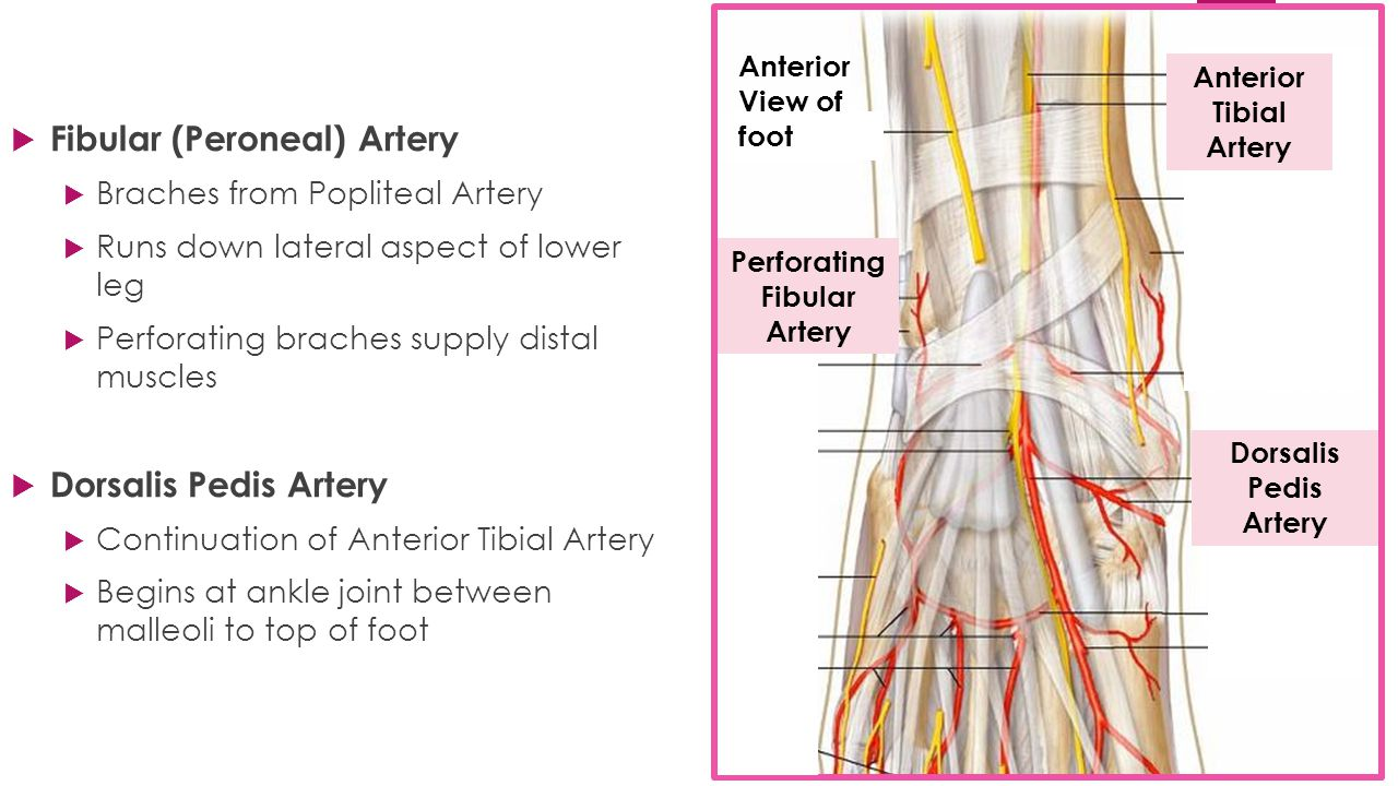 how to find the popliteal pulse