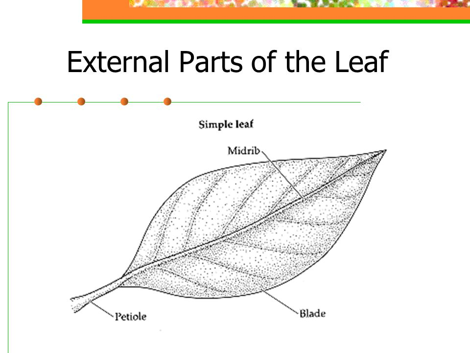 External Parts of the Leaf
