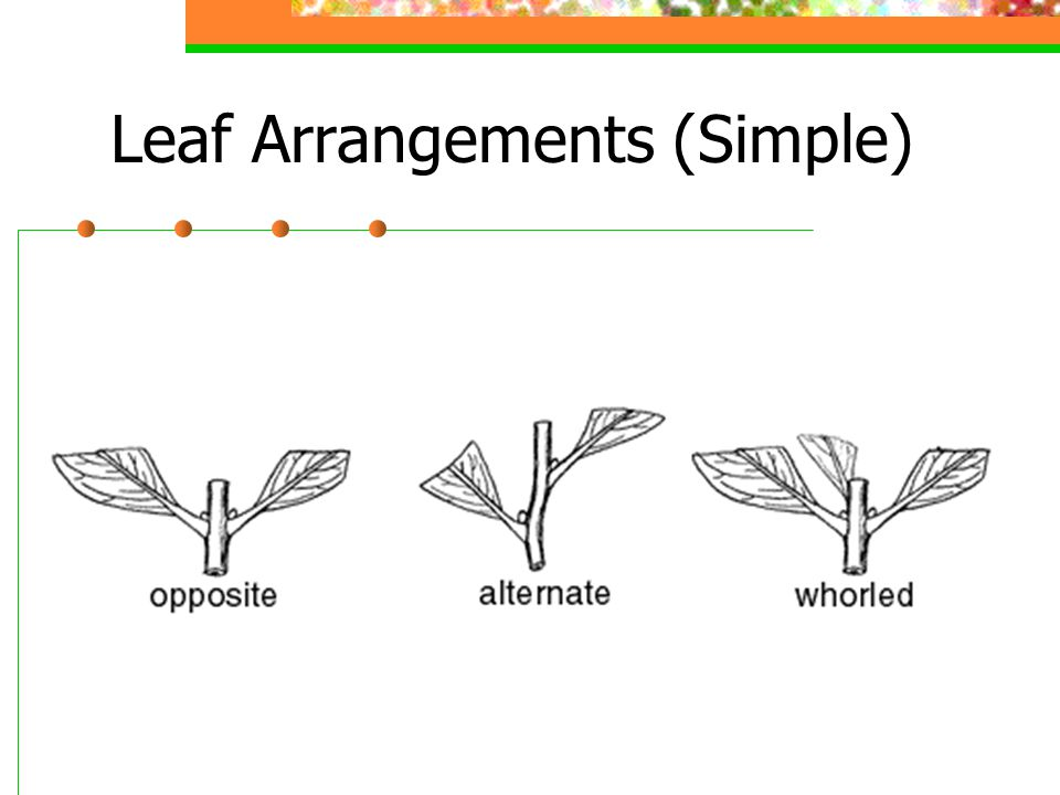 Leaf Arrangements (Simple)