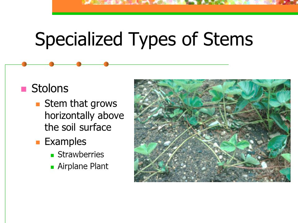 Specialized Types of Stems