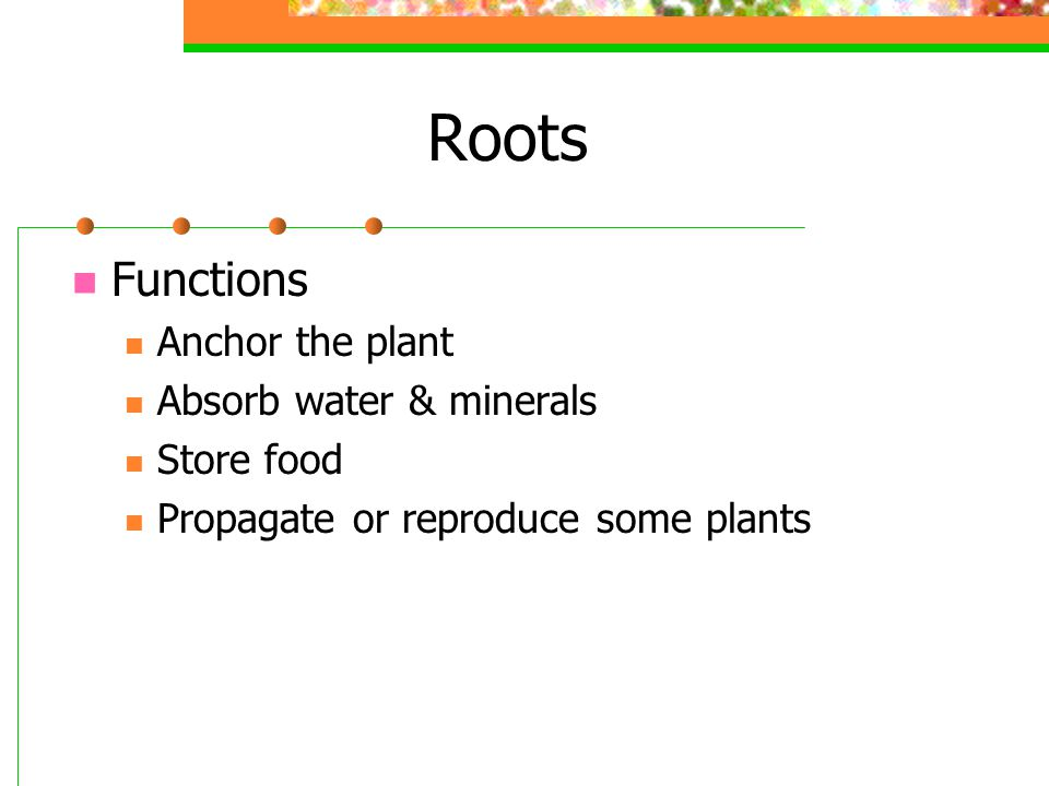Roots Functions Anchor the plant Absorb water & minerals Store food