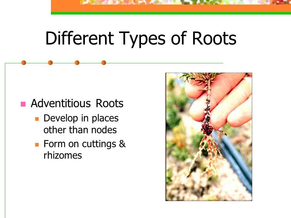 Different Types of Roots