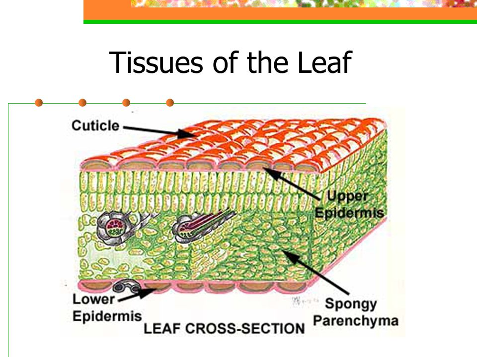 Tissues of the Leaf