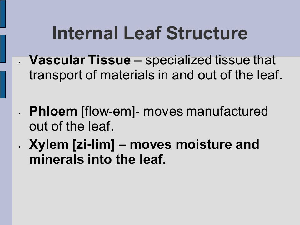 Internal Leaf Structure