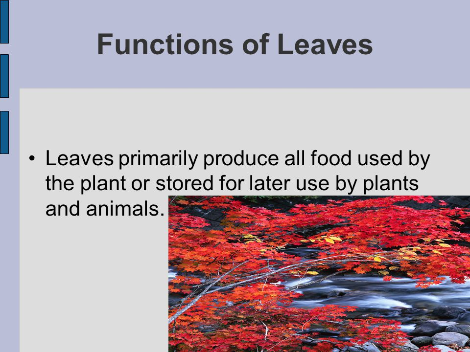 Functions of Leaves Leaves primarily produce all food used by the plant or stored for later use by plants and animals.