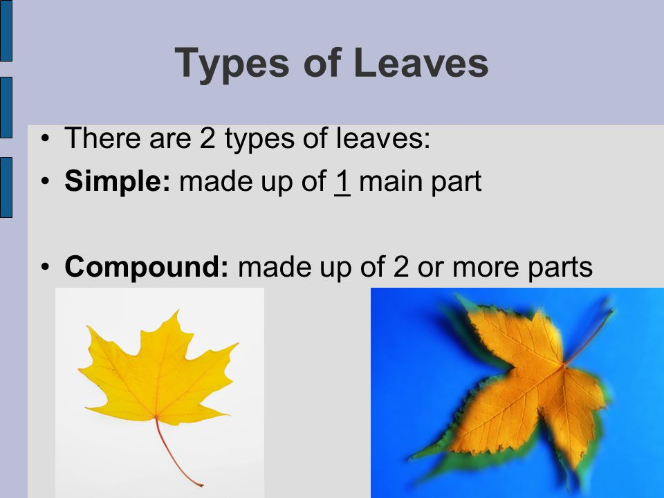 Types of Leaves There are 2 types of leaves: