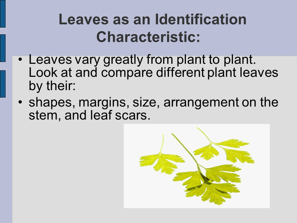 Leaves as an Identification Characteristic: