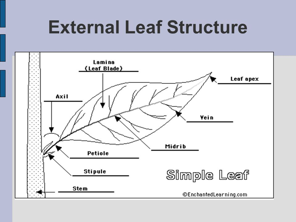 External Leaf Structure