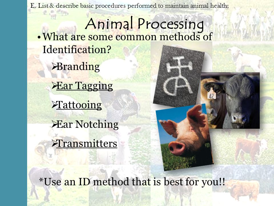 animal identification methods This article reviews the evolution in cattle identification and tracking from classical methods to animal biometrics it reports on traditional animal identification methods and their advantages and problems.