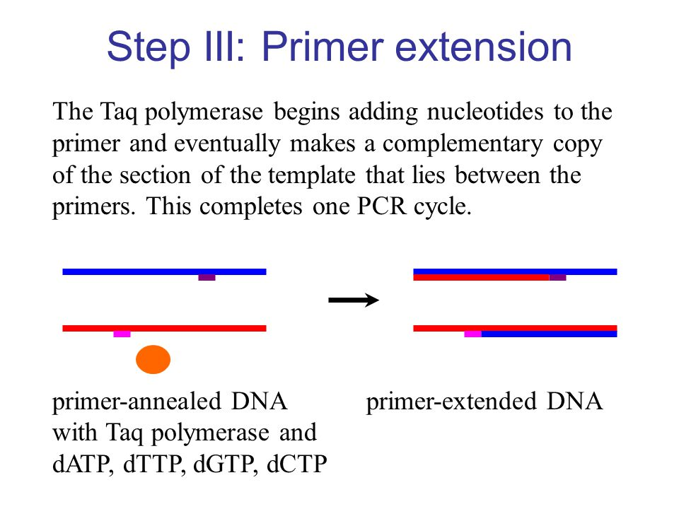 Step III: Primer extension