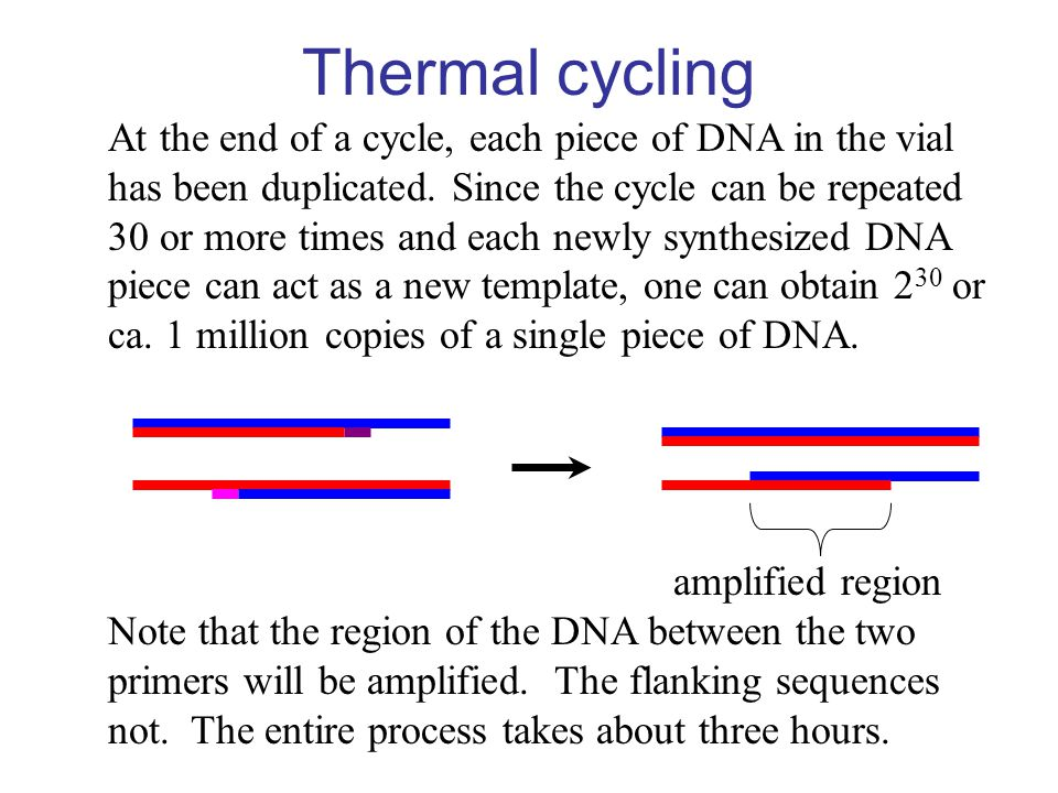 Thermal cycling At the end of a cycle, each piece of DNA in the vial
