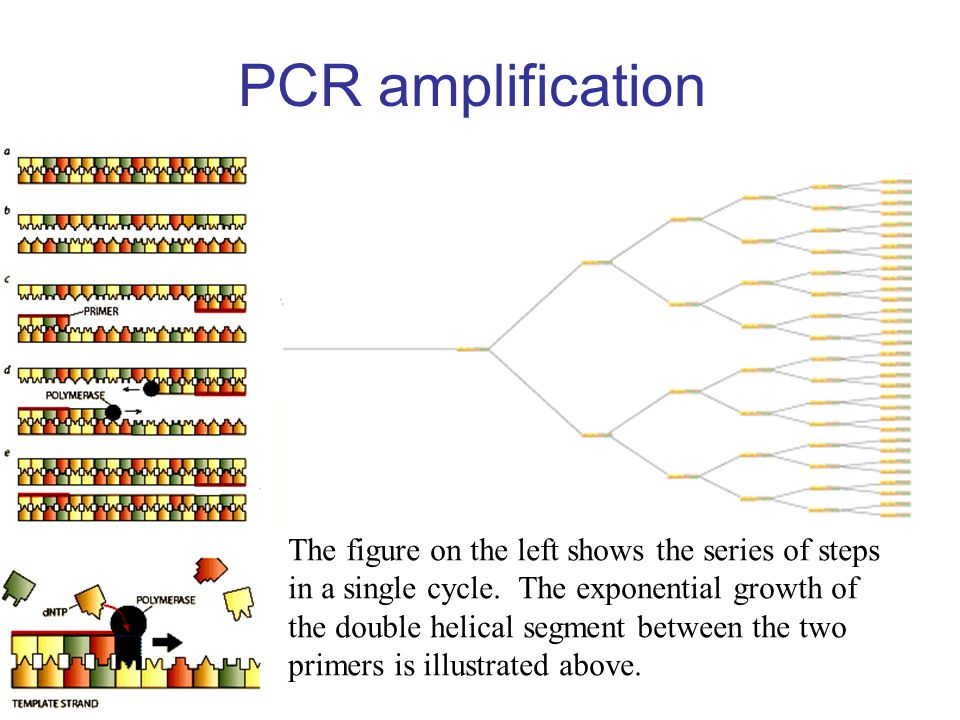 PCR amplification The figure on the left shows the series of steps