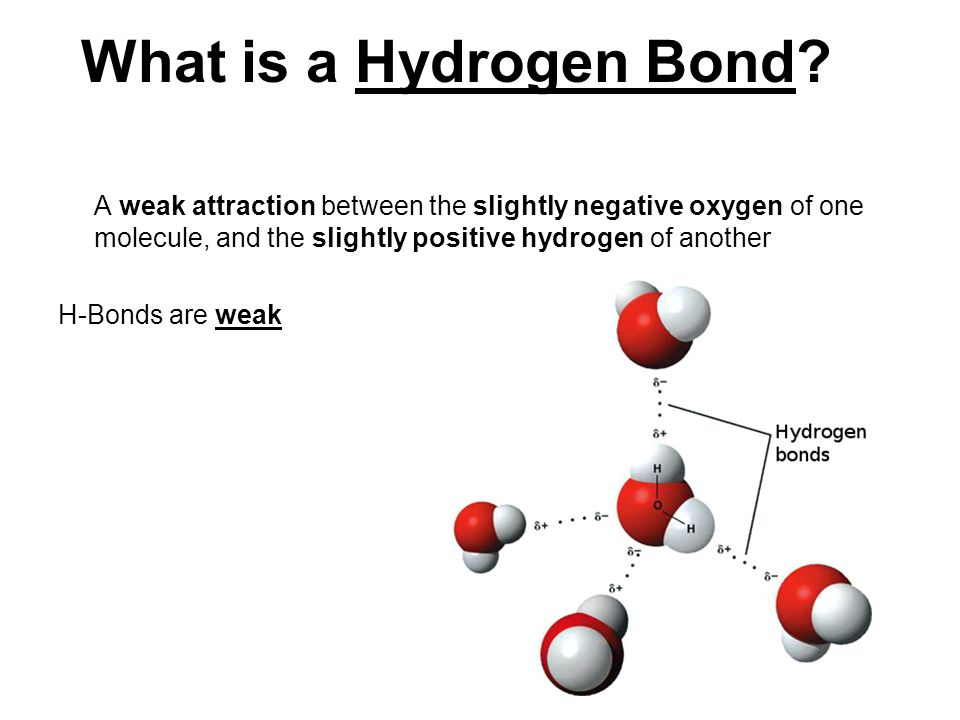 What is a Hydrogen Bond A weak attraction between the slightly negative oxygen of one molecule, and the slightly positive hydrogen of another.