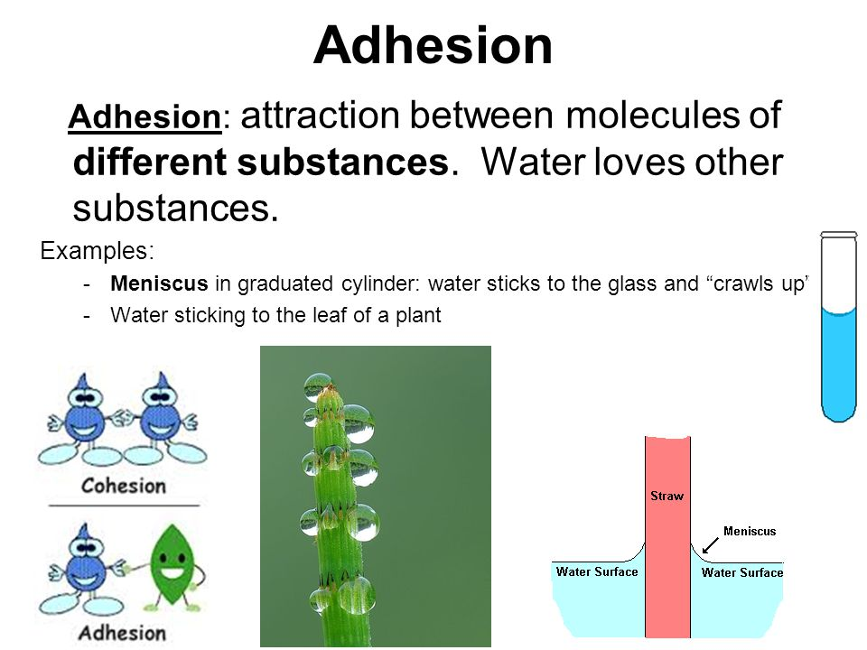 Adhesion Adhesion: attraction between molecules of different substances. Water loves other substances.