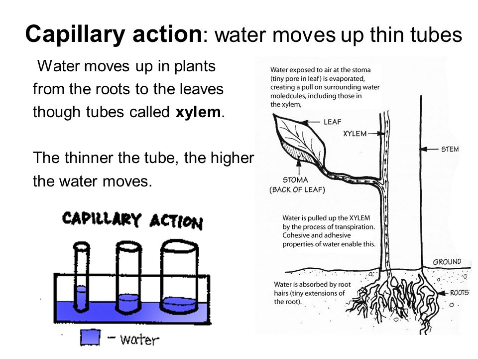 Capillary action: water moves up thin tubes