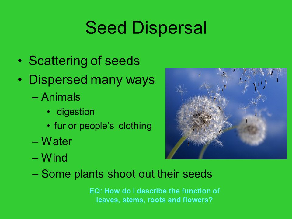 Seed Dispersal Scattering of seeds Dispersed many ways Animals Water