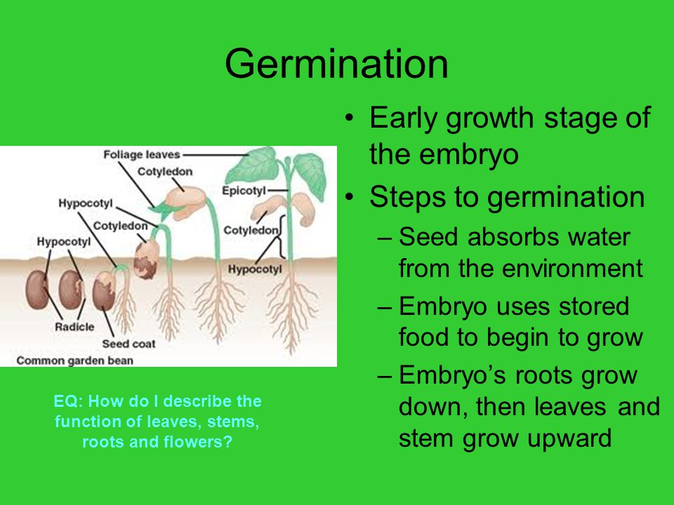Germination Early growth stage of the embryo Steps to germination