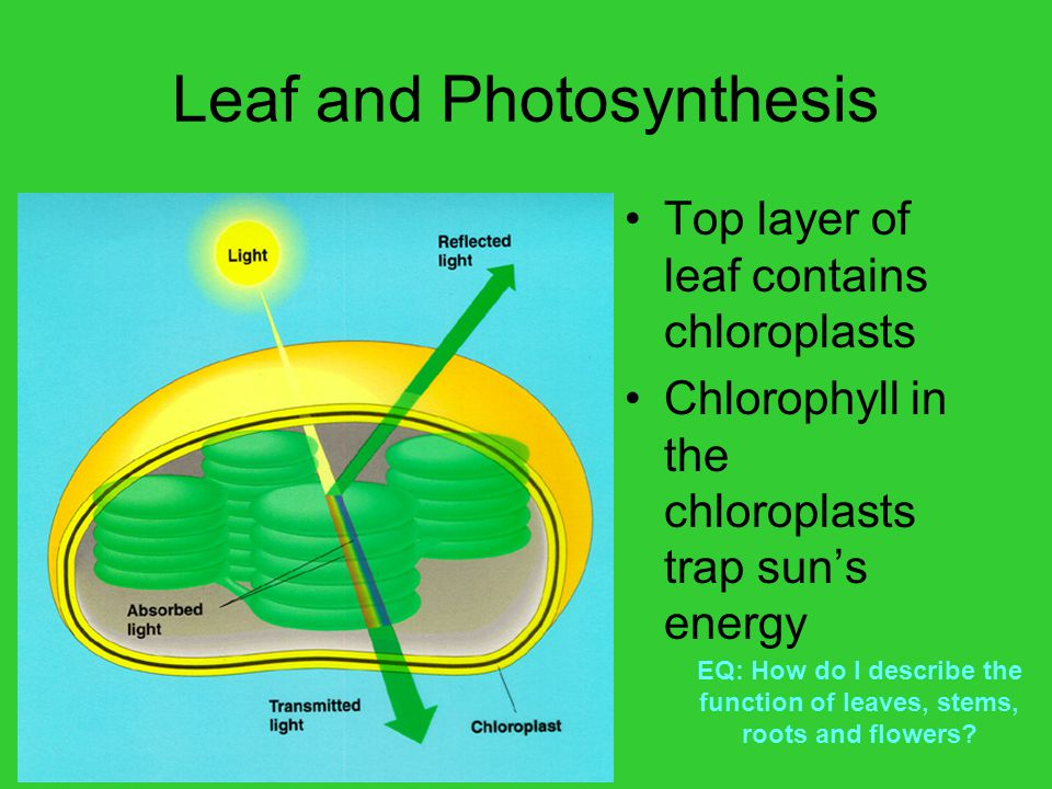 Leaf and Photosynthesis