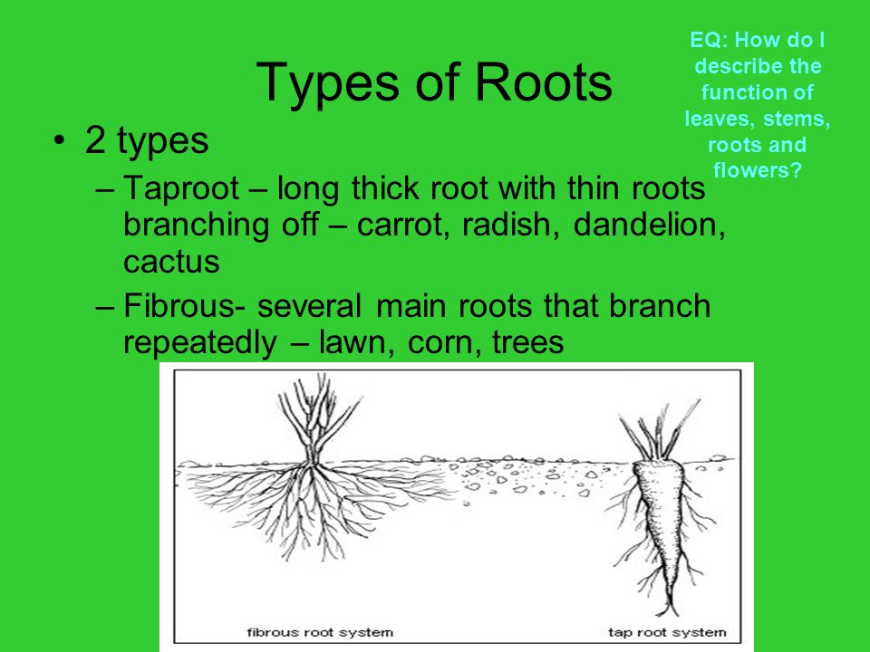 Types of Roots EQ: How do I describe the function of leaves, stems, roots and flowers 2 types.