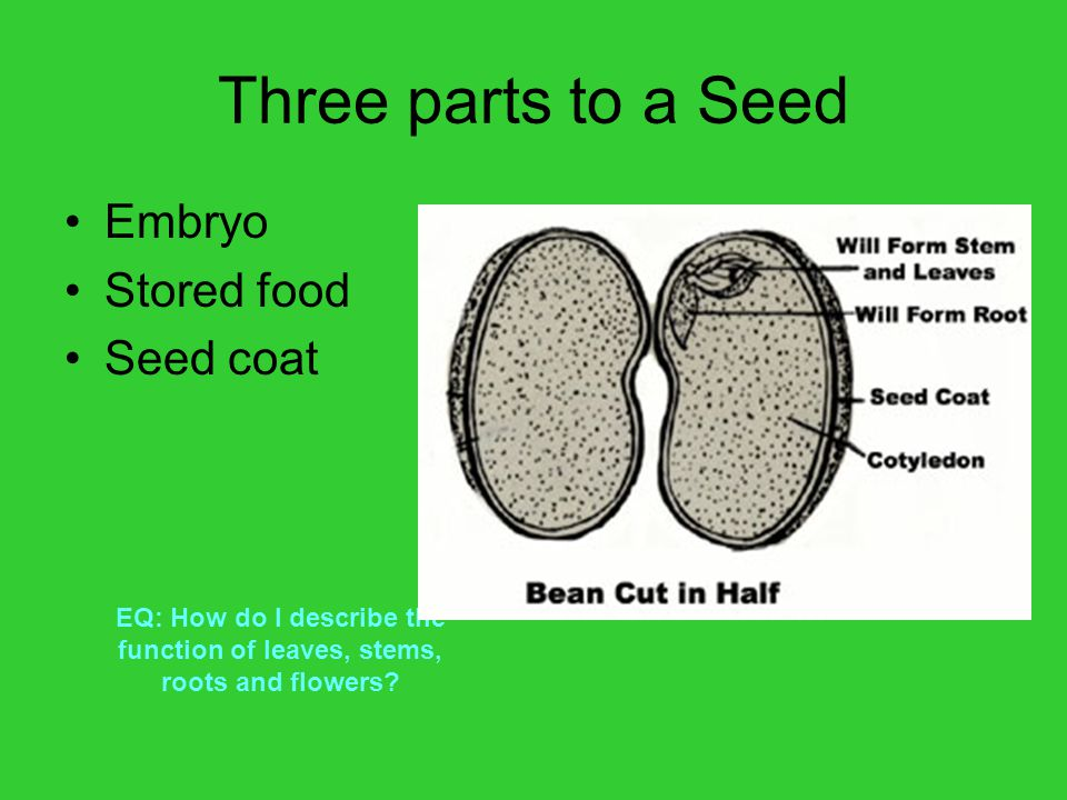 Three parts to a Seed Embryo Stored food Seed coat