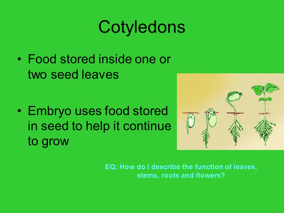 Cotyledons Food stored inside one or two seed leaves