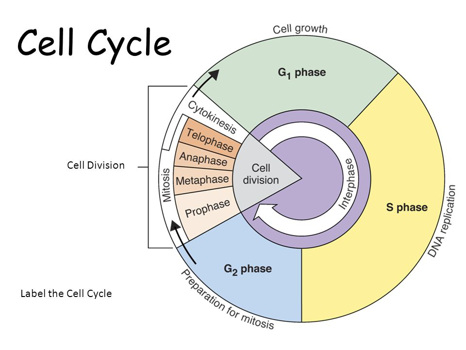 cell cycle and mitosis ppt video online download. Black Bedroom Furniture Sets. Home Design Ideas