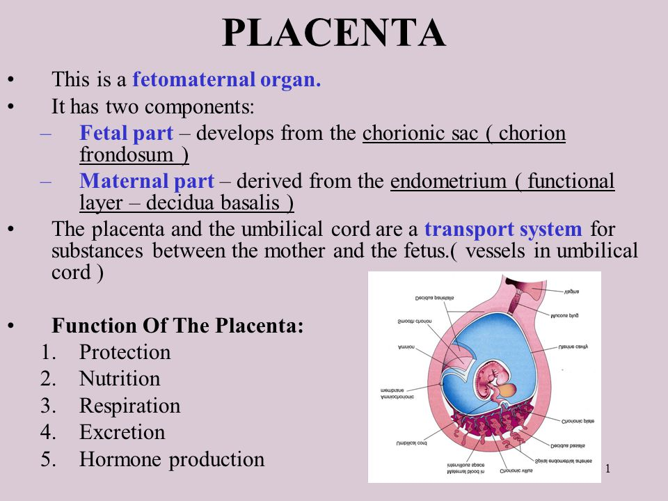 Placenta This Is A Fetomaternal Organ It Has Two