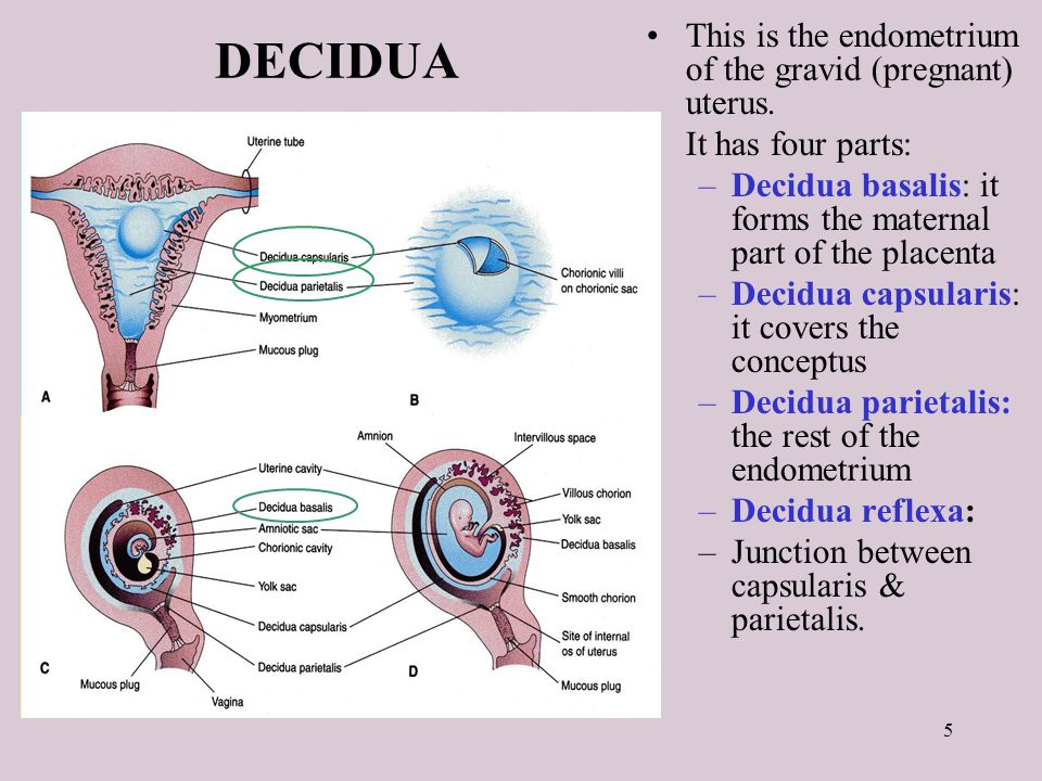 List Of Synonyms And Antonyms Of The Word Decidua Capsularis