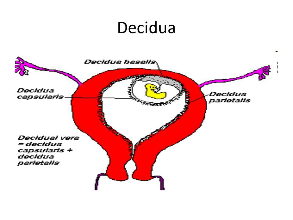 Decidua Related Keywords Decidua Long Tail Keywords