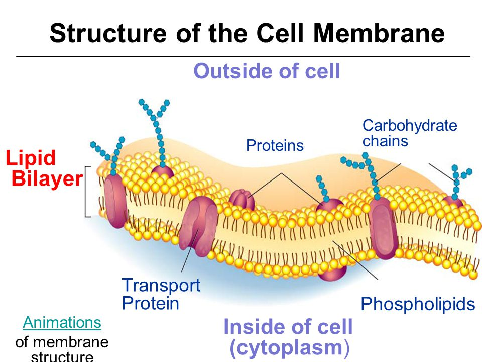 diagram of the cell membrane structure choice image how