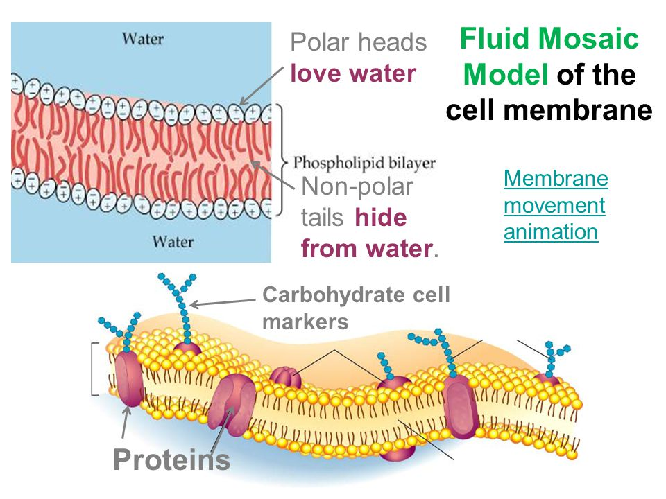 The fluid mosaic model of membrane structure