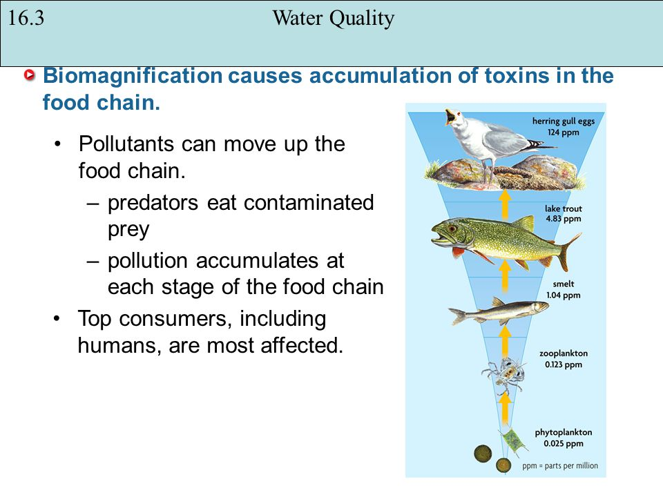 Biomagnification causes accumulation of toxins in the food chain.