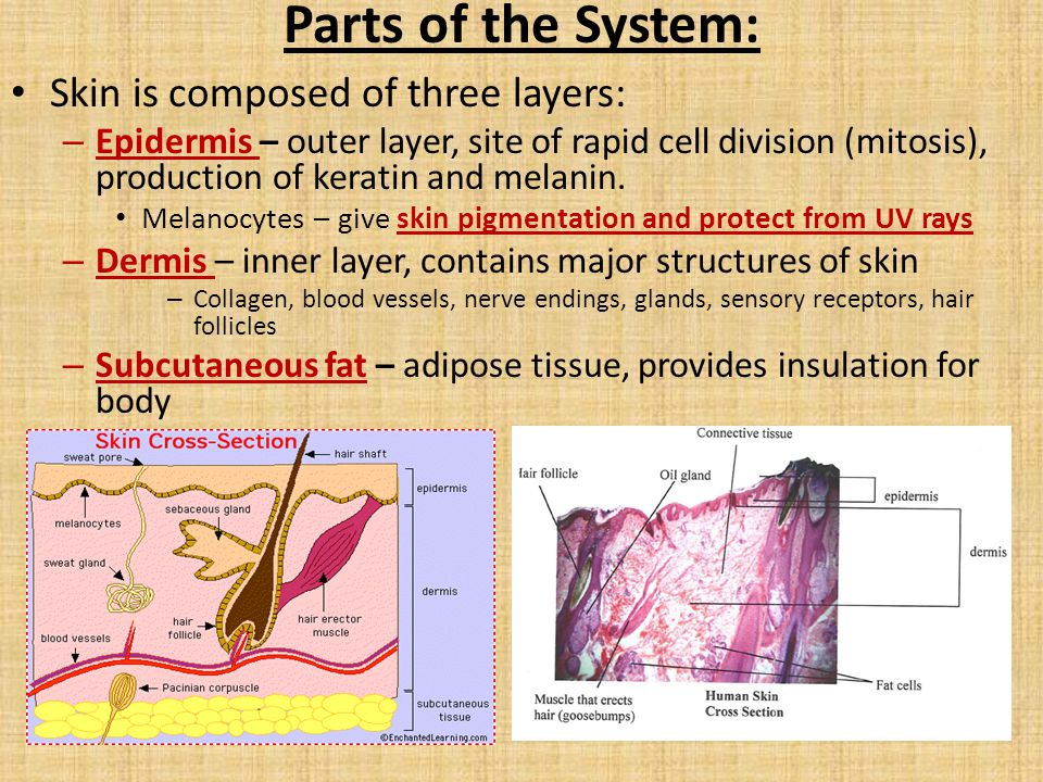 The term for the layers that compose the epidermis is