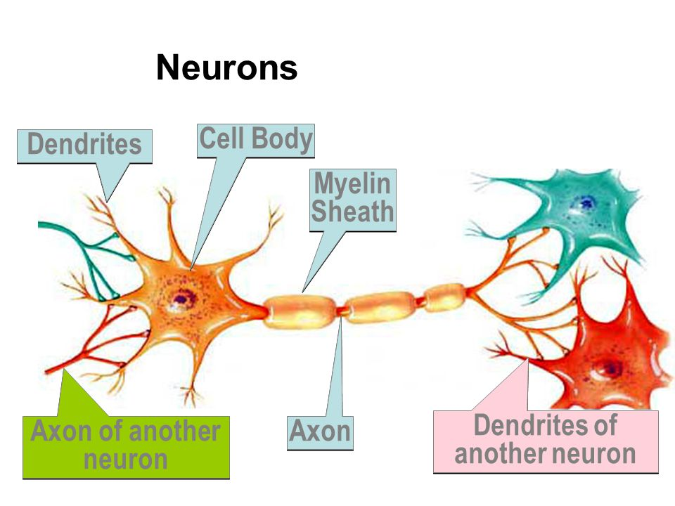 Dendrites of another neuron