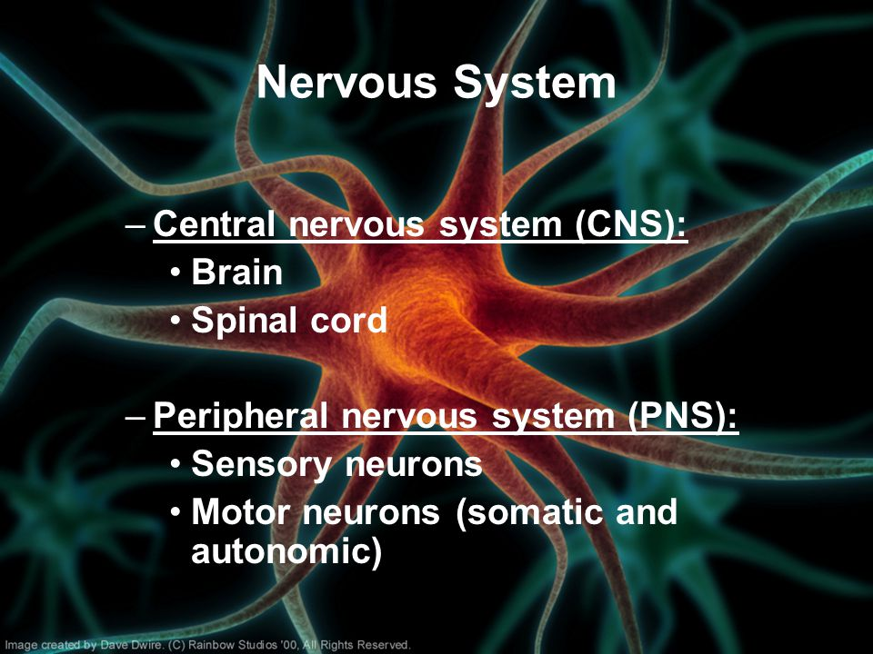 Nervous System Central nervous system (CNS): Brain Spinal cord