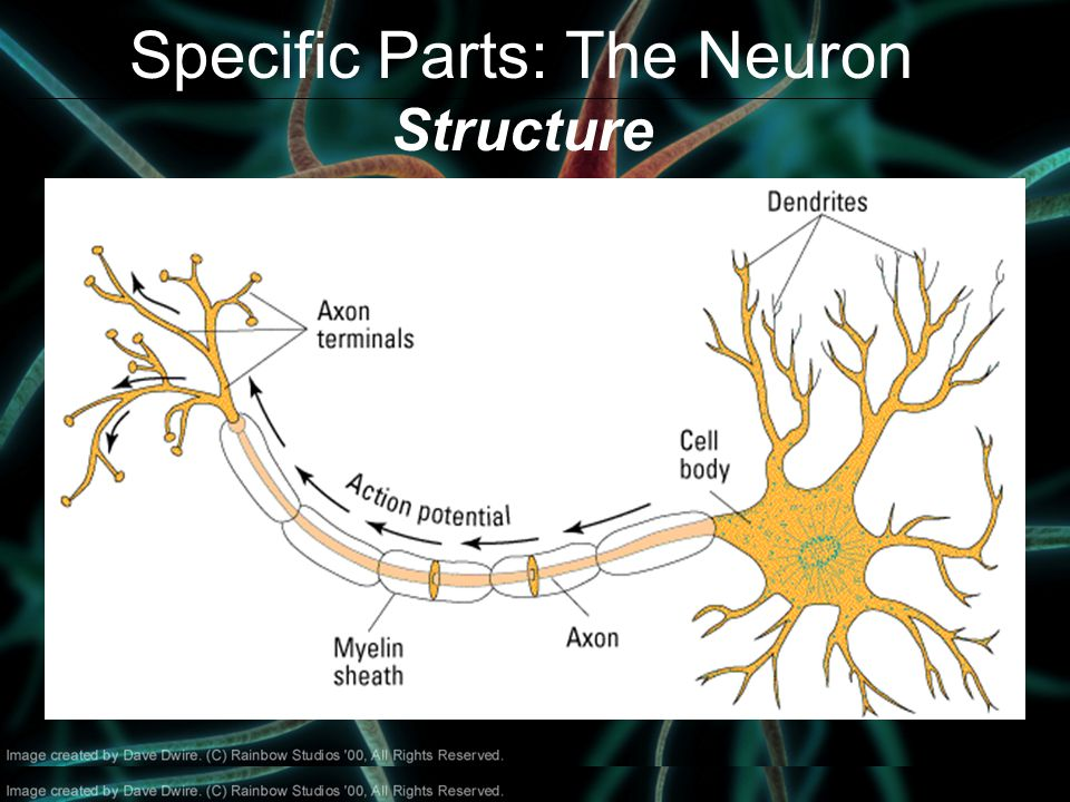 Specific Parts: The Neuron Structure