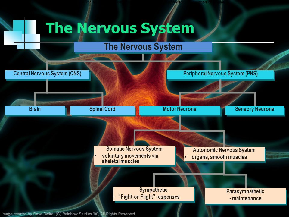 The Nervous System The Nervous System Central Nervous System (CNS)