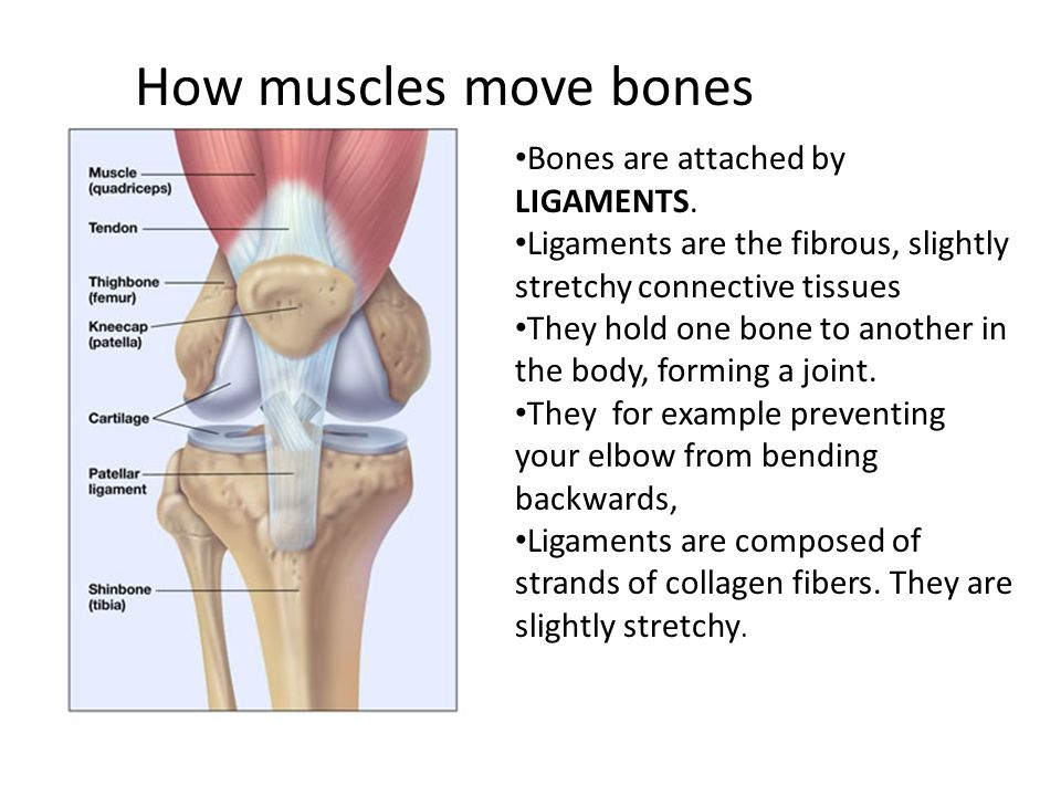 describe the major bones muscles joints This lesson introduces the major skeletal muscle groups of the human body major landmarks of bones the major muscle groups of the.