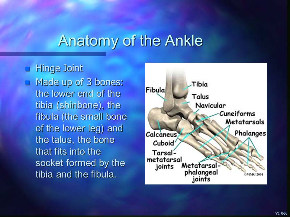 Anatomy of the Ankle Hinge Joint