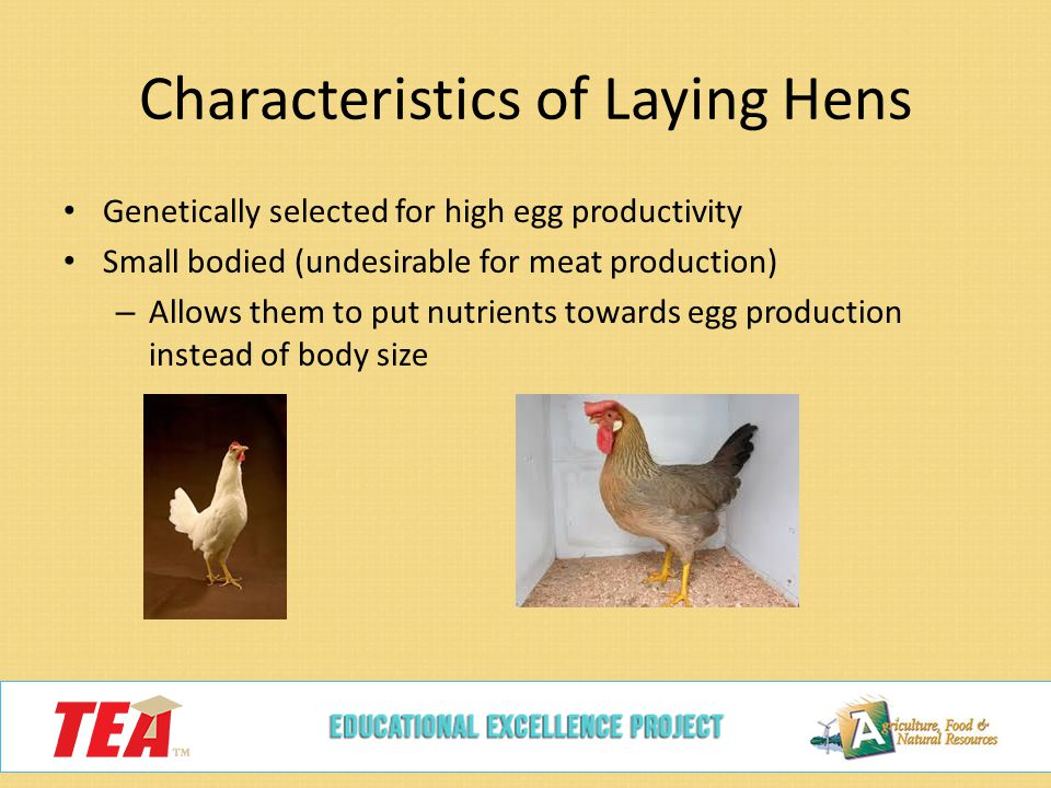 space needs of laying hens essay How much space do laying hens need the march/april, 2012, issue of urban farm magazine outlines the minimum space requirements for keeping chickens.