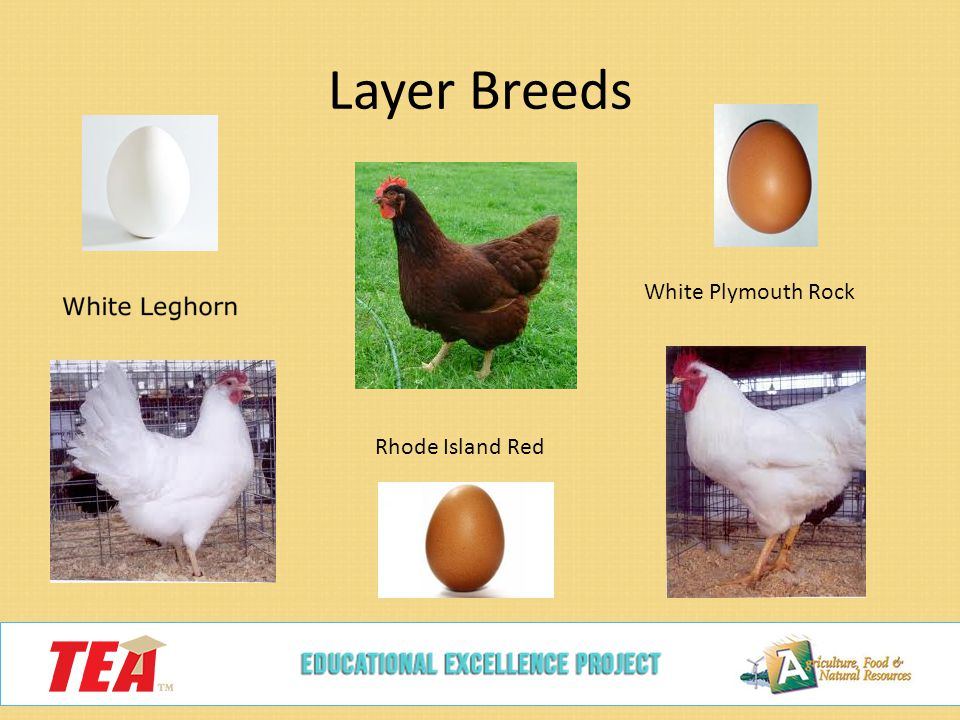 Leghorn Plymouth Rock Australorp Rhode Island Etc Eggs