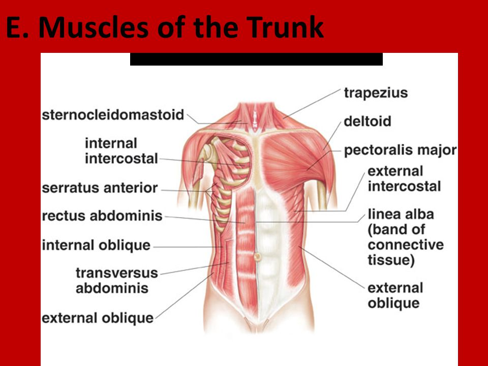 E Muscles Of The Trunk Ppt Video Online Download