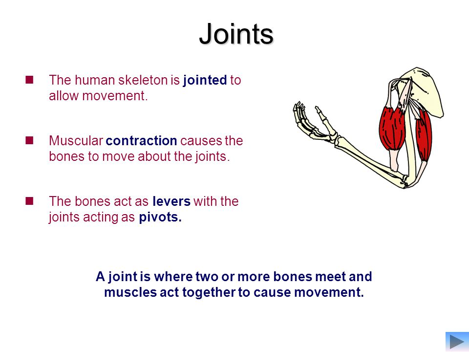 Joints The human skeleton is jointed to allow movement.