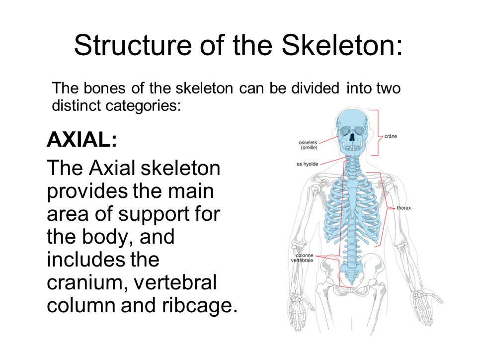 Structure of the Skeleton: