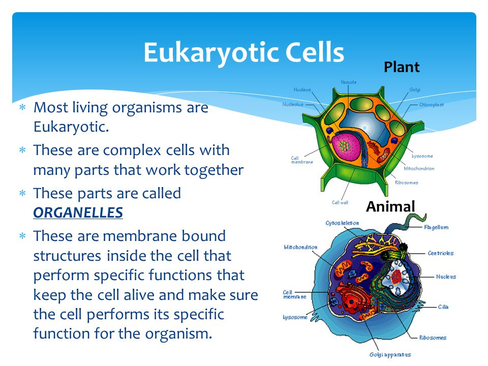 how organelles work together to make and secrete protein Parietal cells have an endoplasmic reticulum organelles,  what organelles does the parietal cell have  they secrete hydrochloric acid in the stomach to help.