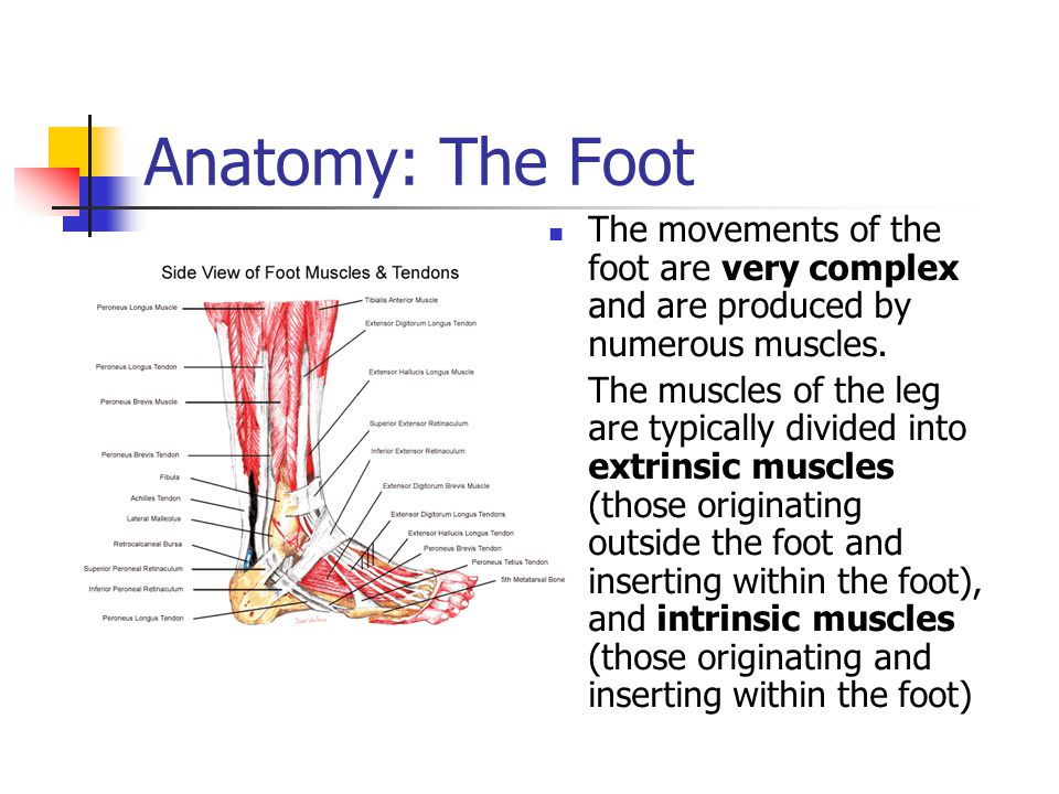 Anatomy: The Foot The movements of the foot are very complex and are produced by numerous muscles.