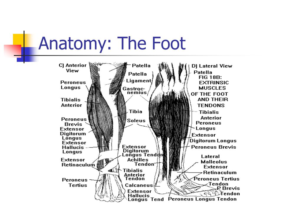 Anatomy: The Foot