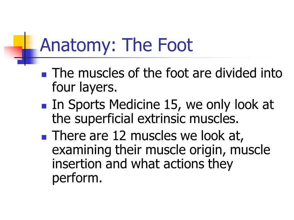 Anatomy: The Foot The muscles of the foot are divided into four layers. In Sports Medicine 15, we only look at the superficial extrinsic muscles.
