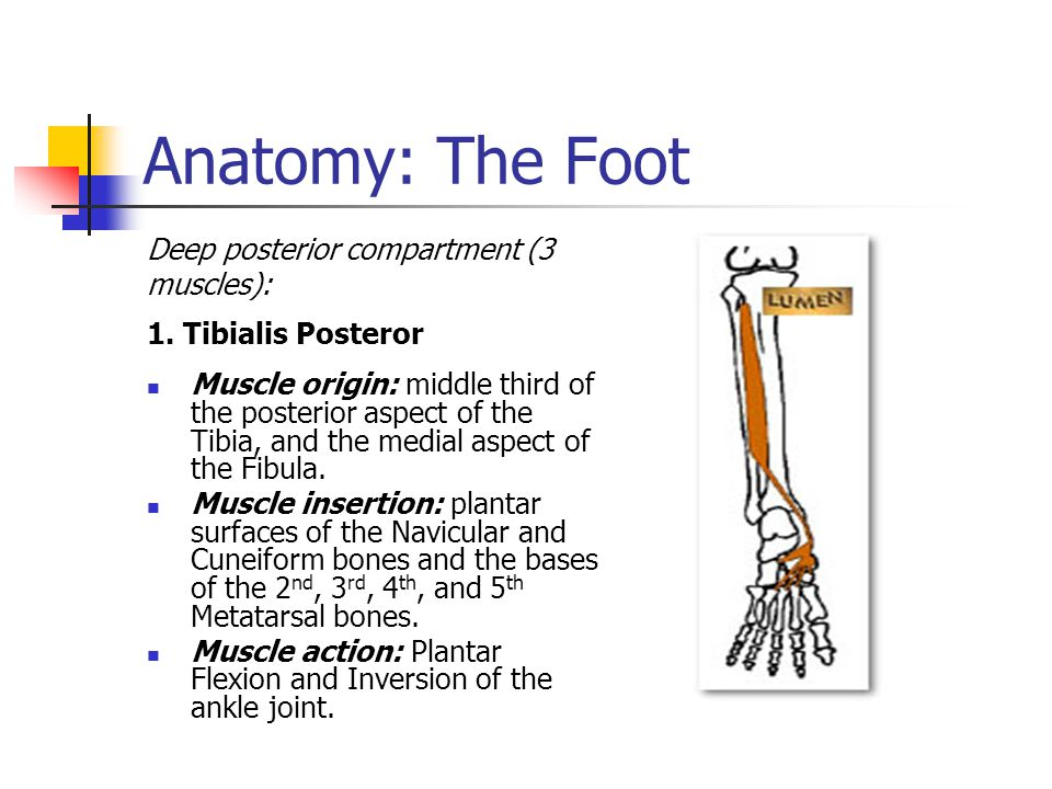 Anatomy: The Foot Deep posterior compartment (3 muscles):