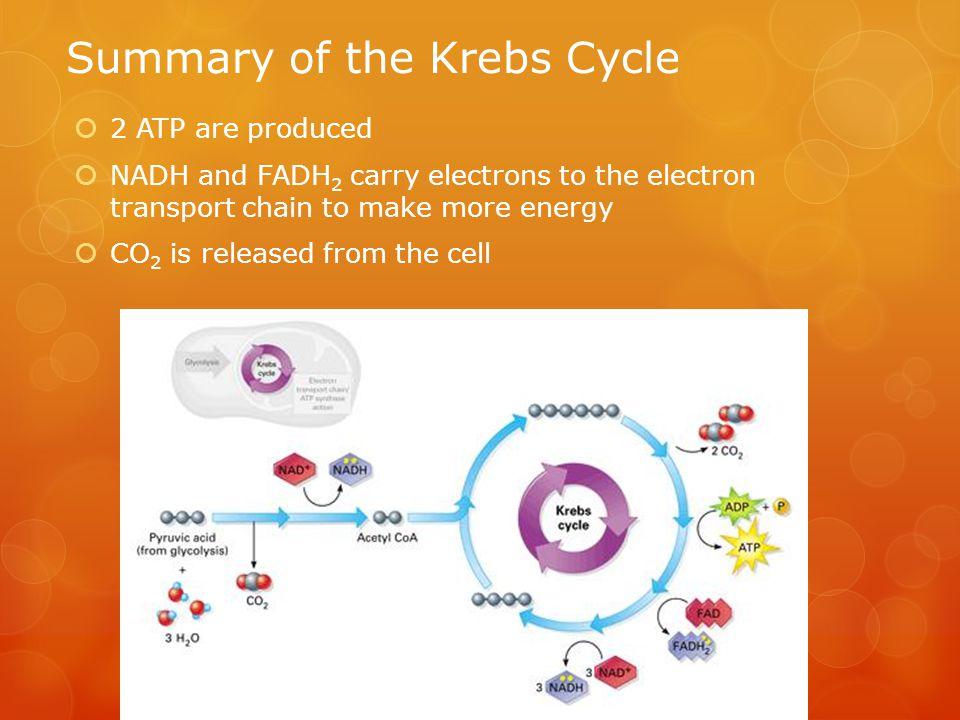 Summary of the Krebs Cycle